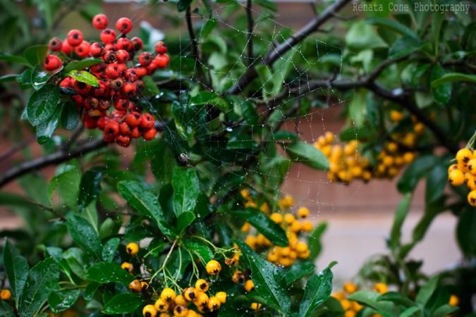 spyder on the web - autumn